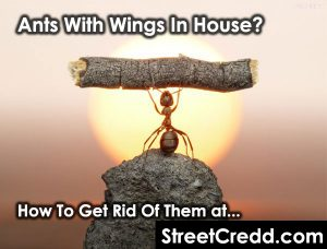 #Ants #With #Wings In #House? Here's How To #Get #Rid Of Them | StreetCredd.com